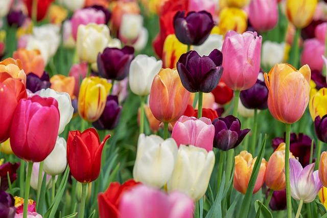 záhon pestrobarevných tulipánů